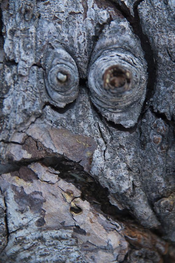 Face in the Bark, Mt. Ashland, Rogue River–Siskiyou National Forest, Oregon, US