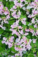 Perennial sweet pea Lathyrus vernus 'Little Elf'