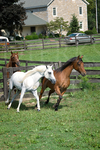 Picture of an Arabian bay mare and white stallion running and turning together.