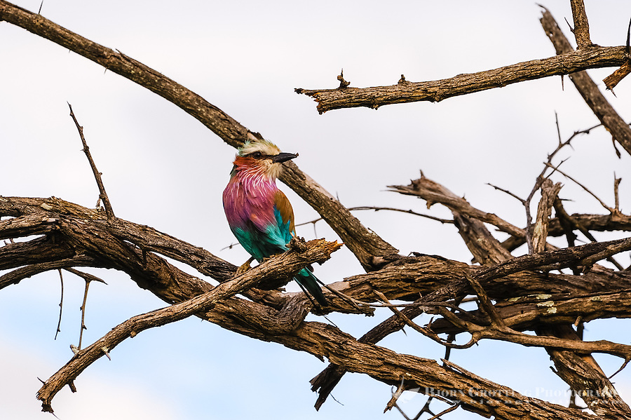 A Lilac-breasted Roller. Kruger National Park, the largest game reserve in South Africa.