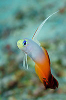 An Elegant Fire Dartfish, Nemateleotris magnifica, hovers over a rubble bottom. Fiji, Pacific Ocean