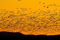Thousands of Snow Geese take off at sunrise at Bosque del Apache Wildlife Refuge in New Mexico.