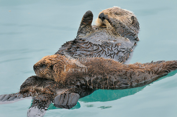 Alaskan or Northern Sea Otter (Enhydra lutris) mother and pup.