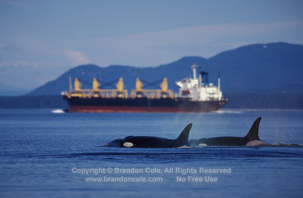 kw10486. Orca (Killer) Whales (Orcinus orca) and oil tanker in background. Washington, USA, Pacific Ocean..Photo Copyright © Brandon Cole. All rights reserved worldwide.  www.brandoncole.com..This photo is NOT free. It is NOT in the public domain. This photo is a Copyrighted Work, registered with the US Copyright Office. .Rights to reproduction of photograph granted only upon payment in full of agreed upon licensing fee. Any use of this photo prior to such payment is an infringement of copyright and punishable by fines up to  $150,000 USD...Brandon Cole.MARINE PHOTOGRAPHY.http://www.brandoncole.com.email: brandoncole@msn.com.4917 N. Boeing Rd..Spokane Valley, WA  99206  USA.tel: 509-535-3489