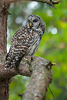 Barred Owl perched in pine tree