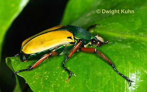 1C37-509z  Scarab Beetle, Eudicella smithii, Africa