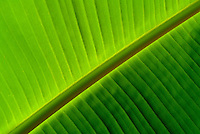Banana Leaf detail