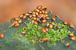 Hibernating Ladybugs, Ladybird Beetles, Muir Woods, Mill Valley, California