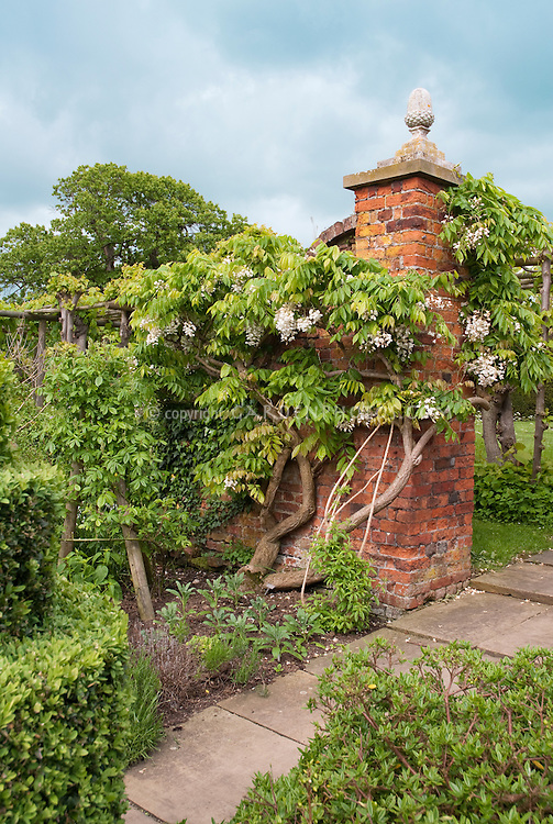 Wisteria venusta climbing vine twisting stems on old brick  wall in spring flower with blue sky and clouds in lovely old garden with path walkway