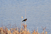 red-winged blackbird on a dry cattail.