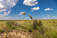 Yucca seedpod in the Cimarron National Grassland in western Kansas.