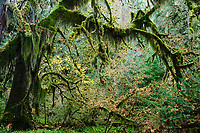 Rainforest, Olympic National Park, Washington