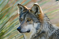 Mexican Wolf (Canis lupus baileyi).( The Living Desert Zoo & Gardens, Palm Springs, CA)