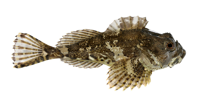 Sea Scorpion Taurulus bubalis Length to 20cm<br /> A rockpool fish with a large, spiny head is likely to be this species. Adult has an angular, almost lizard-like head; gill covering armed with 4 spines. Lateral line is spiny. Has white barbels at corners of mouth. Colour and patterning is variable and matches background; often marbled reddish-brown, with dark banding. Widespread and locally common, least so in SE.