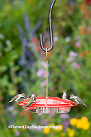 01162-12415 Ruby-throated Hummingbirds (Archilochus colubris) at feeder by flower garden, Marion Co.  IL