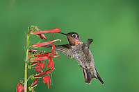 Anna's Hummingbird, Calypte anna, male in flight feeding on Cardinal Flower (Lobelia cardinalis),Tucson, Arizona, USA, September 2006