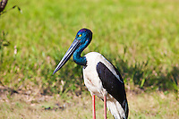 Black-Necked Stork, Yellow Water, Kakadu NP, NT, Australia