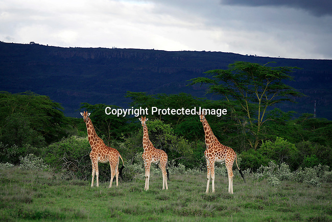 Giraffe on the Soysambu farm. Photo: Per-Anders Pettersson/ Getty Images