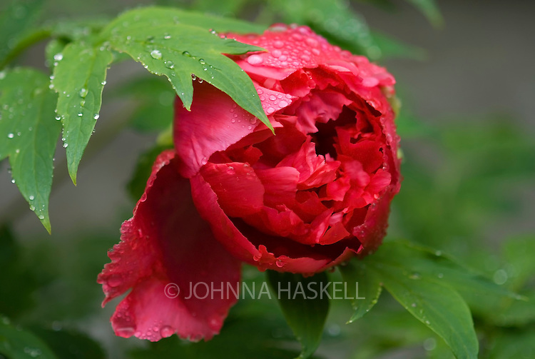 Tree Peony blooming in the rain.