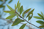 Madagascar Reed Frog, Heterixalus madagascariensis, blue form, Palmarium, Ankanin'ny Nofy, Madagascar, hiding under leaf