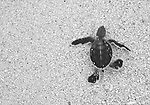 Two page spread of a Green Turtle hatchling, Chelonia mydas, running down a beach, Gielop Island, Ulithi Atoll, Yap, Micronesia, Pacific Ocean