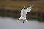 elegant tern fishing at Moss Landing