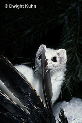 MA04-001x  Short-Tailed Weasel - ermine with bird prey in winter - Mustela erminea