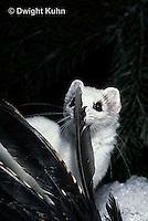 MA04-001x  Short-Tailed Weasel - ermine with bird prey in winter - Mustela erminea