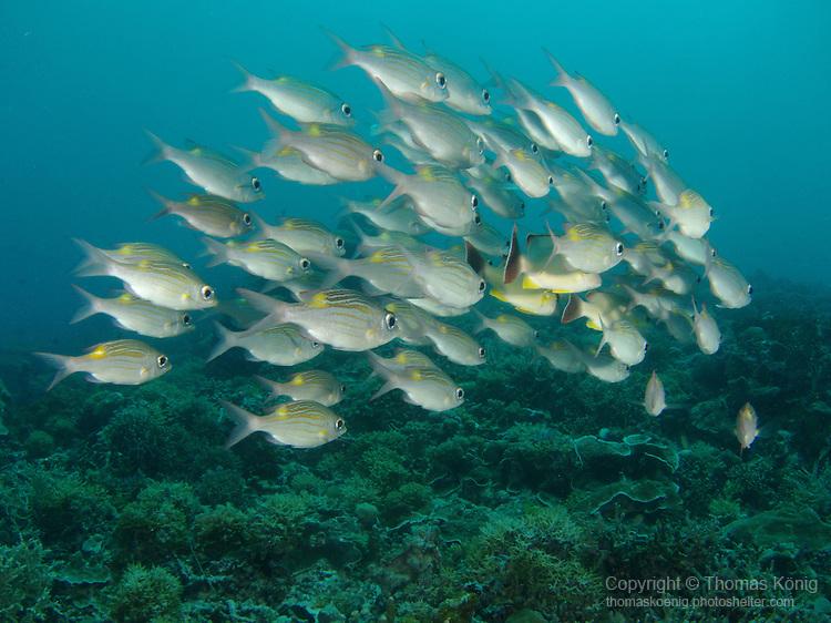 German Channel, Palau -- School of Striped Large-eye Breams (Gnathodentex aureolineatus)
