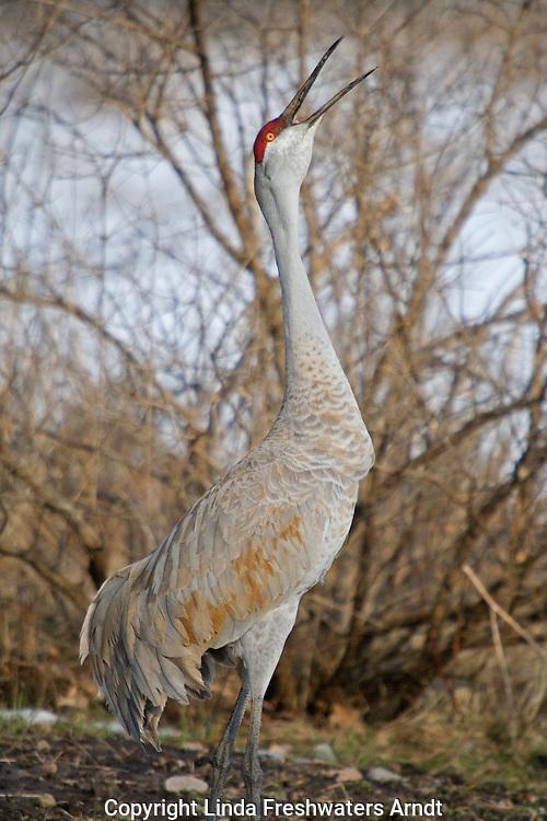Sandhill crane calling to other sandhills