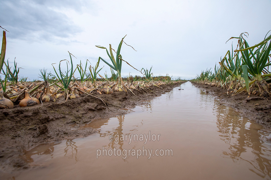 Distressed onions due to heavy rainfall - Lincolnshire, November