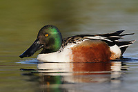Adult male Northern Shoveler (Anas clypeata). King County, Washington. April.