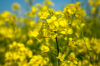 Oil seed rape in Flower - Norfolk, May