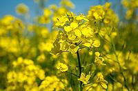 Oil seed rape in Flower - Norfolk, May