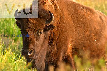Female bison ,Bison bison,, USA.