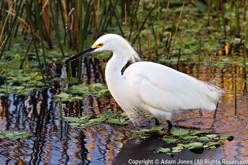 Snowy Egret, Egretta thula, Wakodahatchee Wetlands, Delray Beach, Florida