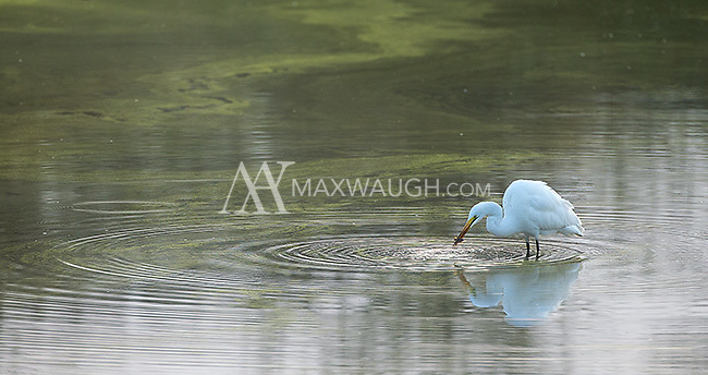 This little egret was wading in a watering hole while lions were drinking nearby.