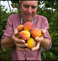 Bumper year for Britain's apricot growers.