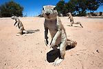 Ground squirrels, Xerus inauris, Kgalagadi Transfrontier Park, Northern Cape, South Africa