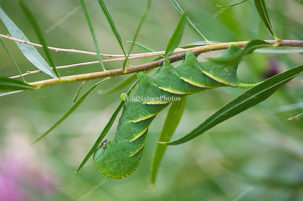 Rustic Sphinx Moth Caterpillar, Manduca rustica, on Desert Willow, Chilopsis linearis