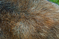 Moose fur (Alces alces americana) on shoulders of mature bull, fall, Nova Scotia, Canada. The undercoat grows in early autumn and adds brownish guard hairs.