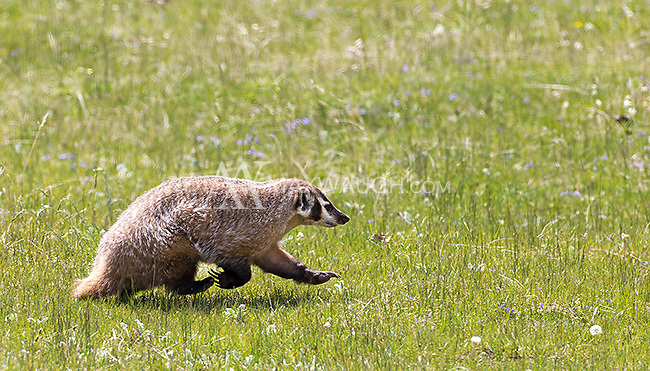 A badger scampers across a meadow in Little America.