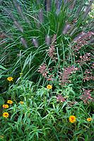 Vashon-Maury Island, WA: Summer perennial garden featuring Pennisetum alopecuroides 'Red Head' fountain grass, zinnias and agastache