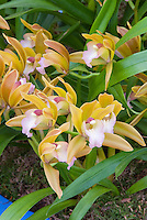 Cymbidium Tiger Tail (miniature variety) orchid