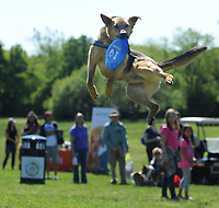 NWA Democrat-Gazette/ANDY SHUPE<br /> Ace, a 4-year-old rescue dog owned by Prasnant and Megan Sahu of Lowell, leaps Saturday, May 6, 2017, to catch a flying disc during the 25th annual Dogwood Walk benefitting the Humane Society of the Ozarks in Gulley Park in Fayetteville. The event featured dog trick and superlative competitions, vendors and a parade around the park.
