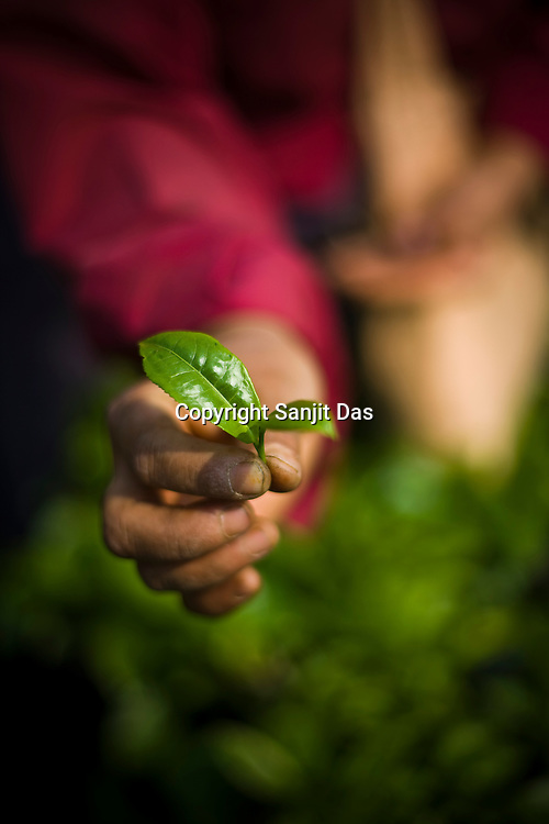 A tea picker shows the bud of the tea leaf while plucking the first flush leaves at the Makaibari Tea estate, in Darjeeling, India