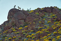Bighorn Sheep, Glorietta Canyon, Anza-Borrego Desert State Park, California