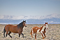 Wyoming Mustangs Running Free on the Wyoming desert by the Wind River Mountains