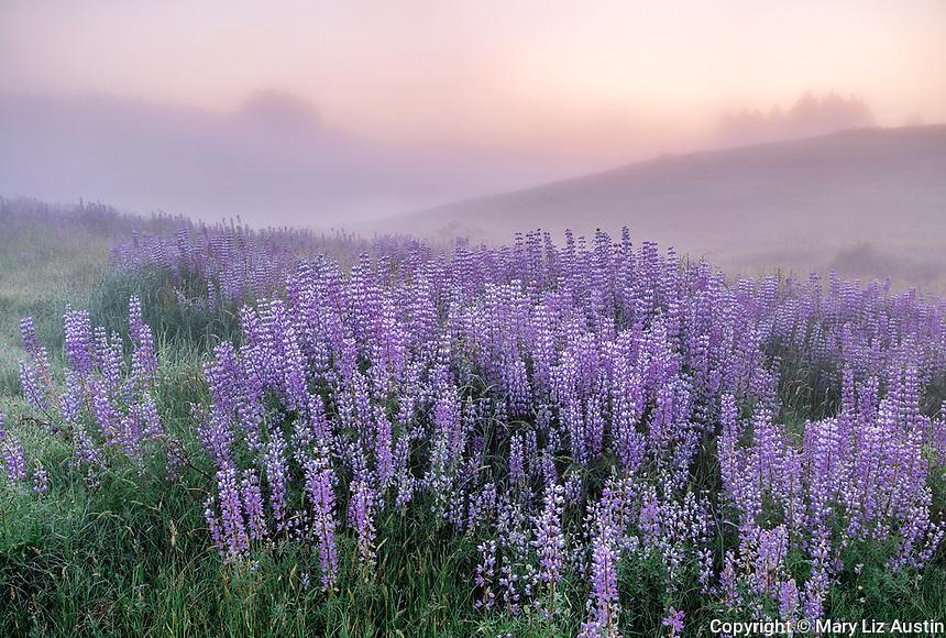 Redwood National Park, CA: Sunrise illuminates ground fog and a field of bigleaf lupine (Lupinus polyphyllus) in the Bald Hills