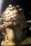 American toads spawning